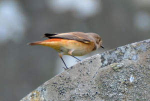 Female Redstart flitting between the gravestones