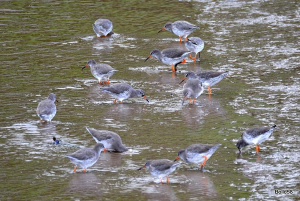 Group of feeding Redshank