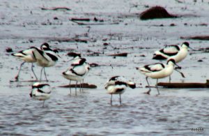 Avocet -  River Exe Estuary