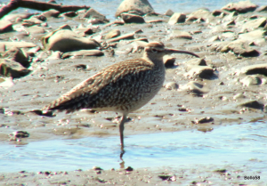 Whimbrel - Fremington Quay