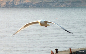 Herring Gull - Sennen Cove