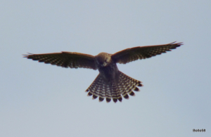 Kestral - The Tors, Ilfracombe