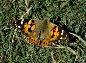 Painted Lady - The Tors, Ilfracombe