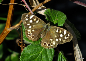 Speckled Wood - Fremington Quay