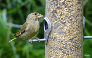 Greenfinch - WWT Slimbridge