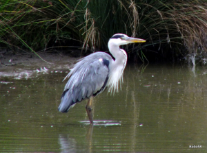 Grey Heron - WWT Slimbridge