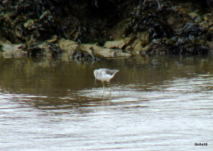 Greenshank - Fremington Quay 21-09-2013 14-51-40