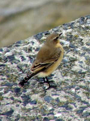 Wheatear - The Capstone, Ilfracombe