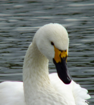 Bewick's Swan - WWT Slimbridge