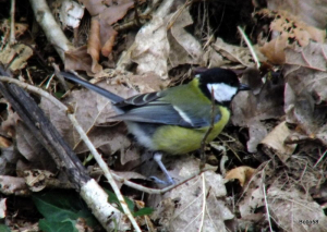 Great Tit - Cairn Wood, Ilfracombe