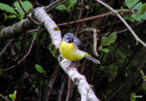 Grey Wagtail - Nat' Trust Arlington Ct