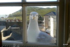 Herring Gull at my study window -