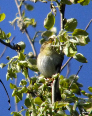 Willow Warbler - Braunton Burrows