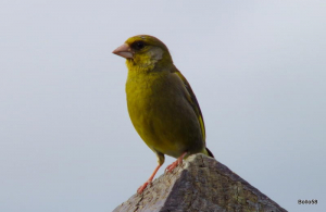 Greenfinch - Northam Burrows