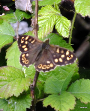 Specked Wood Butterfly - RSPB Isley Marsh