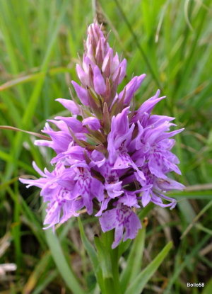 Common Spotted-Orchid - near Lee Bay, Devon