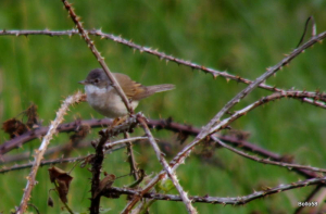 Whitethroat - Torrs, Ilfracombe