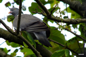 Wood Pigeon - Torrs, Ilfracombe