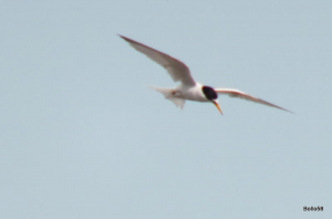 Little Tern - Lymington & Keyhaven Nature Reserve