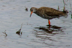 Redshank - Lymington & Keyhaven Nature Reserve
