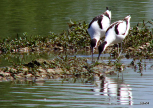 Avocet - WWT Slimbridge