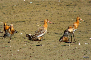 Black-tailed Godwits - WWT Slimbridge