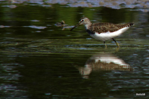 Green Sandpiper - WWT Slimbridge