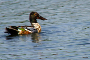Shoveler - WWT Slimbridge