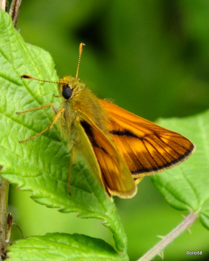Large Skipper Butterfly - Yate Rocks