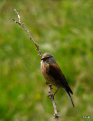 Linnet - near Fremington Quay