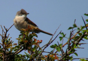 Whitethroat - Home Frm Marsh