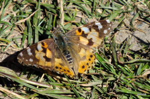 Painted Lady Butterfly - The Tors, Ilfracombe