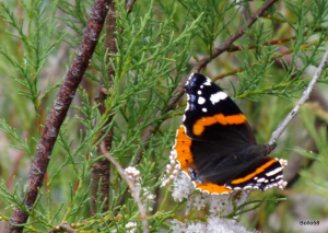 Red Admiral Butterfly - Home Frm Marsh