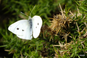 Small White Butterfly - Braunton Marsh