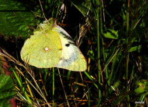Clouded Yellow Butterfly - RSPB Isley Marsh