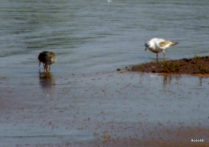 Ross's Gull [with Redshank] - RSPB Bowling Green Marsh