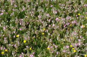 Common Restharrow - Braunton Burrows