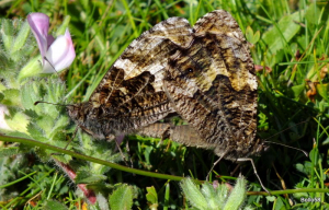 Grayling Butterfly - Braunton Burrows