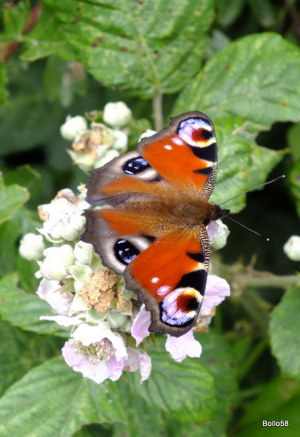 Peacock Butterfly - Braunton Burrows