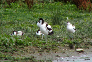 Avocet family - Tichfield Haven Nature Reserve