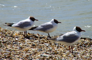Black-headed Gulls - Stokes Bay, Gosport