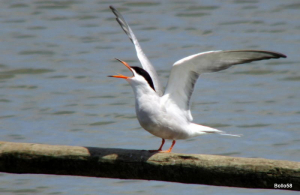 Common Tern - Tichfield Haven Nature Reserve