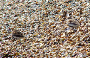 Can you spot the 2 Dunlin ? - Stokes Bay, Gosport