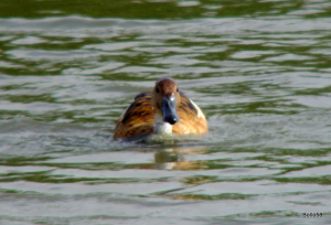 Fulvous Whistling Duck - Tichfield Haven Nature Reserve
