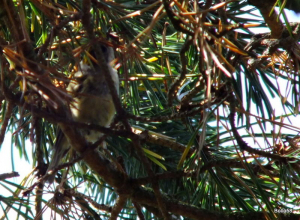 Goldcrest - Hamble Estuary, Hamps'