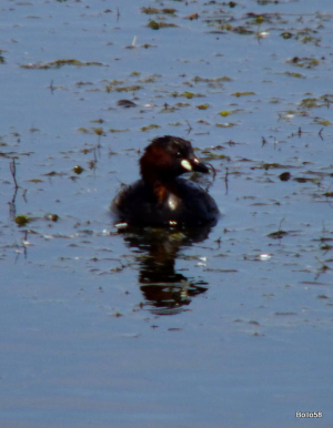 Little Grebe - Keyhaven & Lymington Nature Reserve