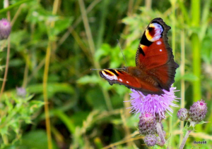 Peacock Butterfly - Farlington Marshes, Hamps'