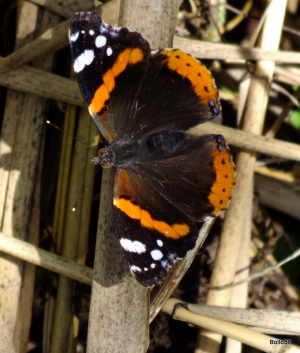 Red Admiral Butterfly - Tichfield Haven Nature Reserve
