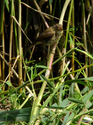 Reed Warbler - Keyhaven & Lymington Nature Reserve
