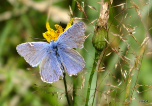 Common Blue Butterfly - The Cairn, Ilfracombe